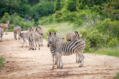 Zebra starring at the camera. Royalty Free Stock Images