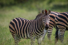Zebra starring at the camera. Stock Photography