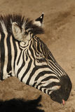 Zebra sticking out its tongue Stock Photography