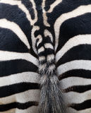 Zebra stipes Royalty Free Stock Images