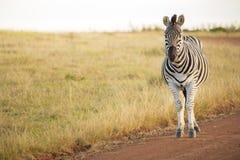 Zebra stoi dopatrywanie Zdjęcie Royalty Free