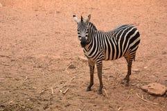 Zebra stojak na polu Fotografia Royalty Free