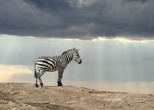 Zebra. On stone in Africa, National park of Kenya Royalty Free Stock Photography