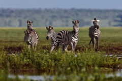 Zebra stopped at the water Stock Photography