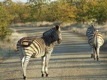 Zebra in strada non asfaltata Immagine Stock