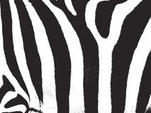 Zebra strip. Zebra stripes pattern texture Stock Photo