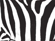 Zebra strip. Zebra stripes pattern texture. Computer generated vector image of zebra stripes Stock Photo