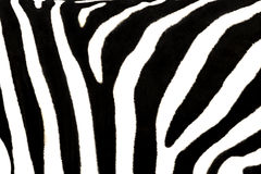 Zebra stripes. Zebra's pattern in black and white as a background Stock Images