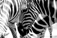 Zebras. A group of black and white zebras royalty free stock image