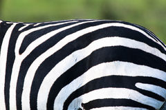 Zebra stripes Royalty Free Stock Image