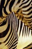 Zebra Stripes. Study of the zebra's wonderful black and white striping Stock Images