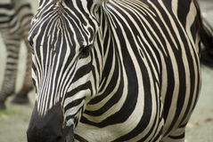 Zebra stripes. And patterns of black and white Stock Images