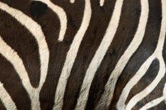 Zebra stripes Stock Image