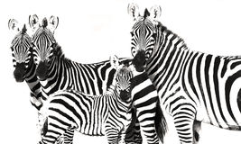 Zebra Stripes. Black and White Art Photography, A zebra family is posing for the photographer Stock Image