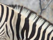 Zebra Stripes Royalty Free Stock Photography