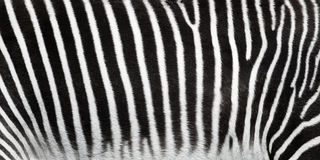 Zebra stripes closeup. Stock Photos