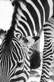 Zebra Stripes. Closeup of Zebras while grazing in black and white Royalty Free Stock Images