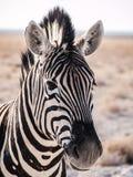 Zebra Stripes. Zebra in the Etosha National Park, Namibia Royalty Free Stock Images