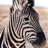 Zebra Stripes. Zebra in the Etosha National Park, Namibia Stock Image