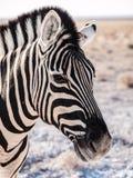 Zebra Stripes. Zebra in the Etosha National Park, Namibia Stock Images