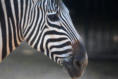 Zebra Stripes Royalty Free Stock Image