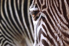 Zebra Stripes Living Animal Print stock images
