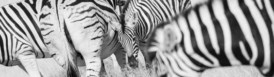 Zebra stripes pattern. In long oblong format black and white stock image
