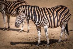 Zebra Stripes Portrait Of Savanna In Nature Stock Image