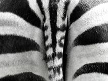 Zebra Stripes. A shot of the rear end of a wild zebra stock photos