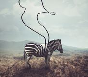 Zebra and stripes. A surreal image of a zebra and two of its black stripes Royalty Free Stock Image