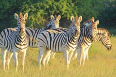 Zebra Stripes - Wildlife Background from Africa - Stare of Iconic Stripes Stock Photos