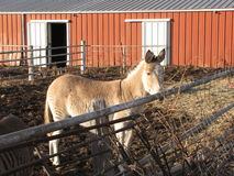 Zebra stripped donkey. S in Kansas Stock Photo