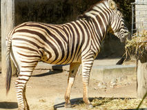 Zebra. Strips eating hay showing rear end stock photo