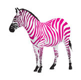 Zebra with strips of pink color. Royalty Free Stock Photo
