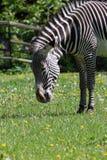 Zebra a strisce in bianco e nero che pasce su un prato verde con i denti di leone nello zoo di Mosca fotografia stock