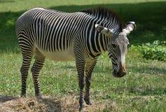 Zebra a strisce sbalorditiva che pasce sull'erba in un campo Immagini Stock
