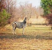 Zebra in struik Royalty-vrije Stock Foto's
