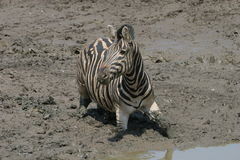 Zebra stuck in the mud Royalty Free Stock Photography