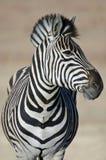 Zebra-Studie. Lizenzfreie Stockbilder