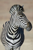 Zebra Study. Royalty Free Stock Images