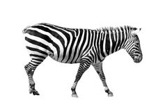 Zebra su bianco Fotografia Stock Libera da Diritti