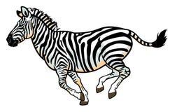 Zebra su bianco Fotografia Stock