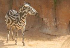 Zebra su fondo roccioso Immagini Stock