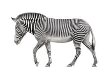 Zebra su una priorità bassa bianca Immagini Stock Libere da Diritti