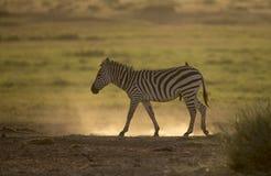 Zebra su una terra polverosa al parco nazionale di Amboseli Immagini Stock Libere da Diritti