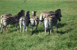 Zebra in Sudafrica Fotografie Stock