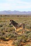 Zebra sudafricana Fotografie Stock Libere da Diritti