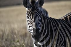 Zebra sudafricana che fissa alla macchina fotografica immagine stock