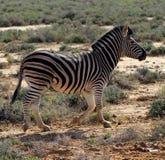 Zebra sudafricana che vaga Fotografie Stock