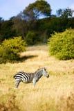 Zebra sul safari in Risonanza Fotografie Stock